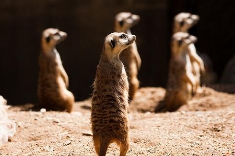 Cautious Meerkats